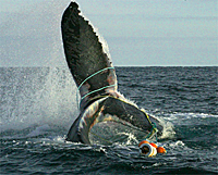 How Fishing Gear is Killing Whales in the North Atlantic