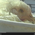 VIDEO: Shocking Undercover Investigation Exposes Buried-Alive Chickens at Nation's Second-Largest Producer