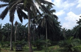 Palm oil companies agree to a moratorium on deforestation