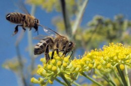 Communities are declaring themselves Bee City USA