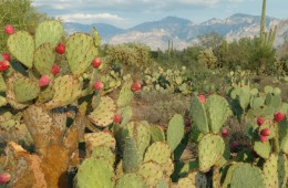 MOVE OVER CORN.  CACTI CAN POWER CARS, TOO.