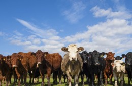 THIS STARTUP WANTS TO FIX THE WAY THE WORLD EATS, ONE GENETICALLY ENGINEERED COW AT A TIME